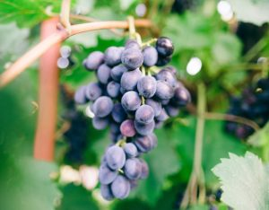 I 9 benefici dell'uva