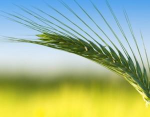 Segale. Dal punto di vista nutrizionale è molto simile al frumento anche se il contenuto proteico è leggermente inferiore. La ricchezza di fibre la rende adatta nei regimi dimagranti. Può essere consumata in chicchi, in fiocchi e in farina, con la quale si ottiene un pane duro e umido dal sapore leggermente amarognolo.