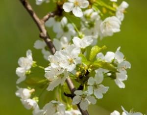 I fiori di ciliegio