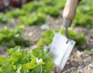 4 regole per coltivare con successo la lattuga