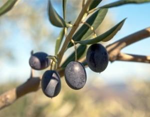 Le varietà di olivo