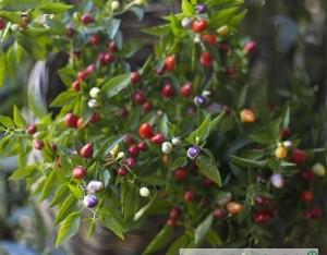 Con il peperoncino c'è più gusto anche in giardino
