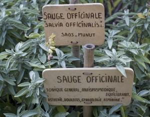 Salvia officinalis: cura il corpo, profuma il cibo e colora il giardino