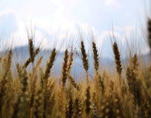 Cereali integrali: come eliminare l'acido fitico